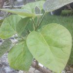 Paulownia tomentosa, Energiepflanze