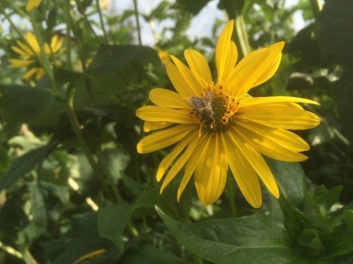 Attraktive Bienenweise Silphie, durchwachsene, auch Becherpflanze genannt