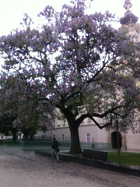 Paulownia bluehend als Parkbaum in Linz, Oberoesterreich