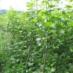 Energiewald im zweiten Standjahr