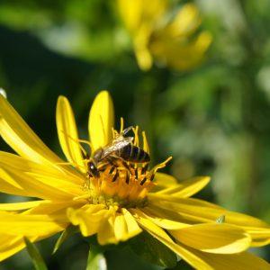 Silphium bee pasture