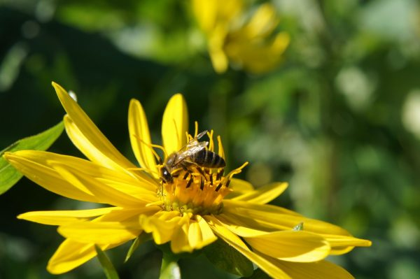 Silphium bee pasture