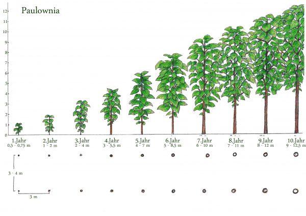 Blauglockenbaum Paulownia Wuchshöhen