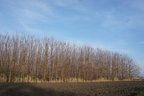 Blauglockenbaum Paulownia Pflanzung Winter