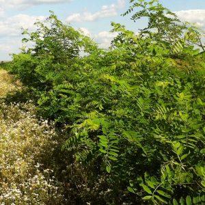 Energiewald/Wertholz Robinien/Akazien Pflanzung