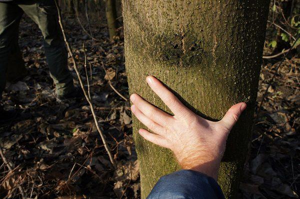Blauglockenbaum Paulownia Stamm 6-jährig