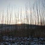 Strauch-Weide Inger