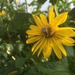 Durchwachsene-Silphie-als-Bienenweide