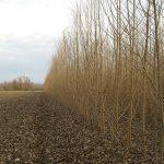 Energiewald Pappel Kurzumtrieb