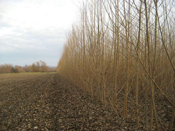 Energiewald Pappel