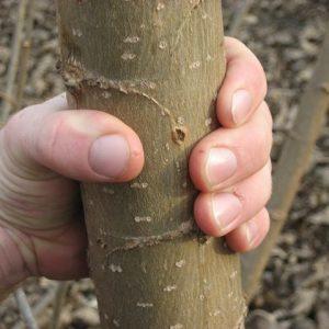 Blauglockenbaum Paulownia-Stamm 2-jährig