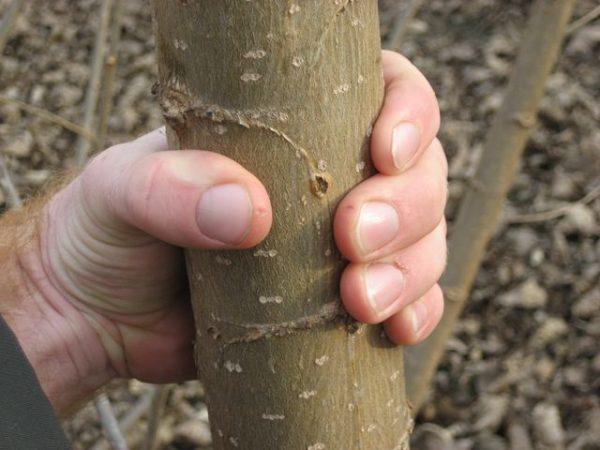 Energiewald Pappel AF7 Stamm 2-jährig