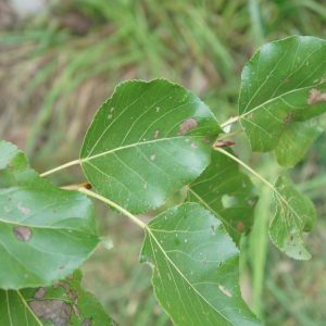 Energiepflanzen Pappel Kornik