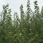 Energiewald Pappel Hybrid 275