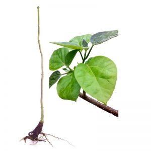 Blauglockenbaum Paulownia Shandong, wurzelnackt mit Stamm