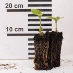 Paulownia tomentosa als Jungpflanze