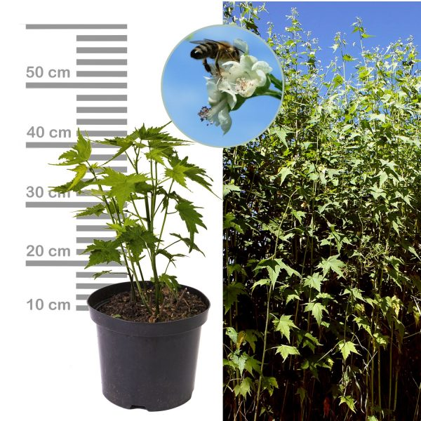 Sida-Pflanze 2-3Liter Topf Blüte