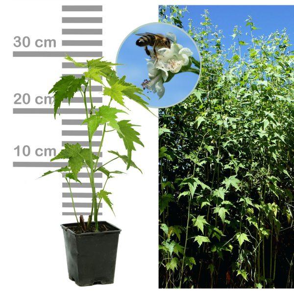 Sida Pflanze 9cm-Topf Blüte