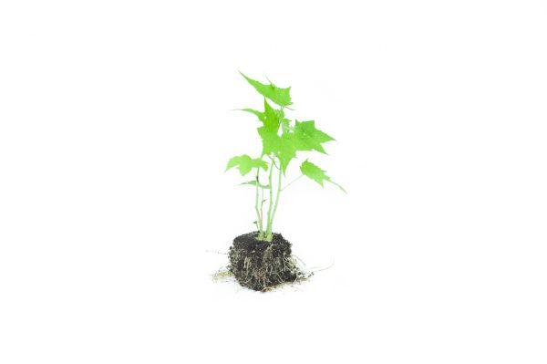 Sida-Pflanze Pressballen 4x4cm
