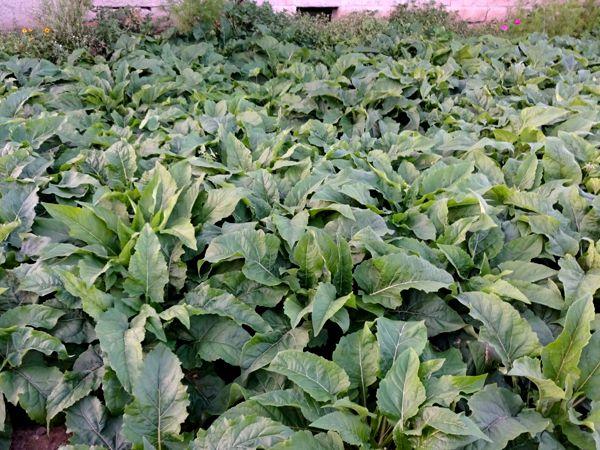 100 Stck einjährige Jungpflanzen durchwachsene Silphie Silphium perfoliatum