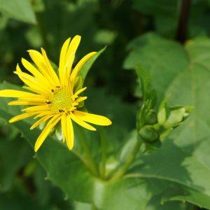 Silphie Bienenweide Energiepflanze