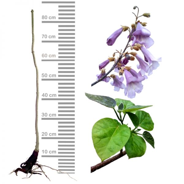 Blauglockenbaum Paulownia Shandong, wurzelnackt mit Stamm, glockige Blüten, Ast mit Blättern