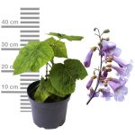 Blauglockenbaum, Paulownia tomentosa, 2-3Liter Topf