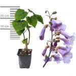 Blauglockenbaum Paulownia Shandong 9cm-Topf