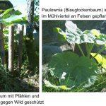 Paulownia in Mühlviertler Höhenlage