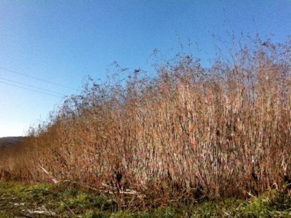 Energiepflanze Sida, Wildschutz Winter