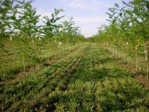 Robinien Energiewald