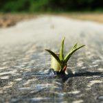Energieholz Pappelsteckling Austrieb