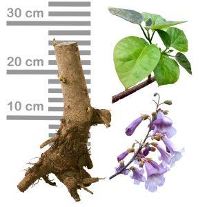 Blauglockenbaum Paulownia Shandong Wurzel 2-jährig