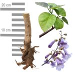 Blauglockenbaum Paulownia Tomentosa Wurzel 2-jährig