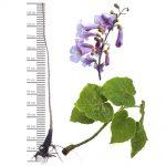 Blauglockenbaum-Stämmchen-100/150