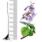 blauglockenbaum-tomentosa-wurzelnackt_60-100