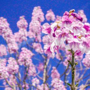 Blühender Kiribaum Nordmax 21