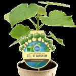 Paulownia CO2-Klimabaum