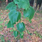 Paulownia-Pflanzung