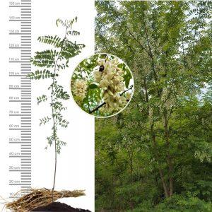 Robinie-Akazie_Jungpflanze Größe 100 bis 150