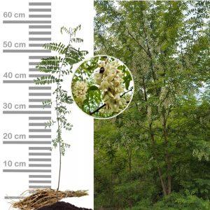 Robinie-Akazie Jungpflanze Größe 40-60