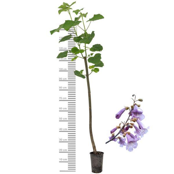 Paulownia Shandong Höhe 100 - 150 cm