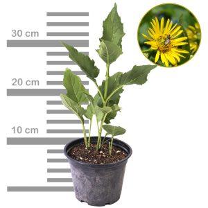 Durchwachsene Silphie im 2-3 Liter Topf